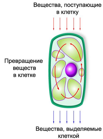 Обмен веществ и энергии в