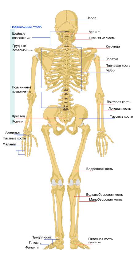Скелет человека вид сзади
