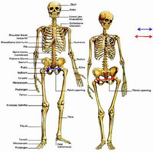 Половые особенности скелета