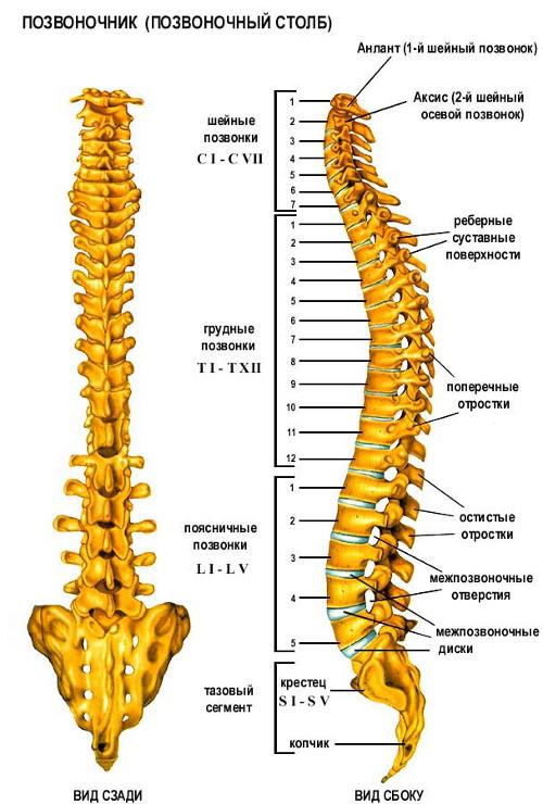 скелете человека суставное